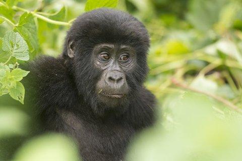 gorilla young