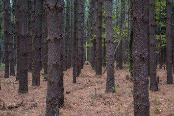 Pine Trees as Survival Food?