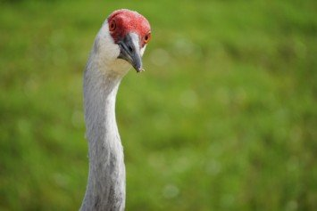 You Can Learn a Lot From a Sandhill Crane