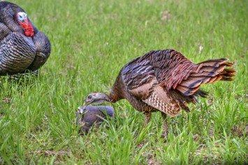 Best Decoy Setup for Spring Turkeys
