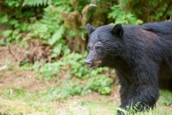 Inspiration for the Teddy Bear, Louisiana Black Bear Delisted