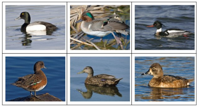 Duck Identification Quiz: Identify Different Types of Ducks