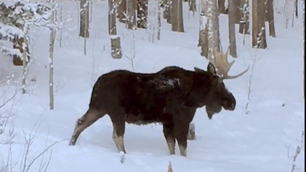 Watch This Moose Lose An Antler Before Your Eyes