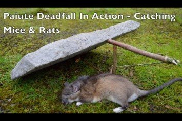 Watch a Paiute Deadfall in Action