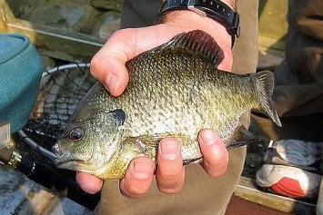 How to Catch Big Bluegills