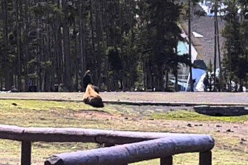 Watch This Woman at Yellowstone Pet a Bison