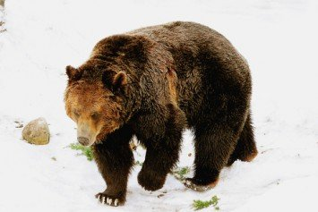 Grizzly Bear Shuts Down Ski Resort in Canada