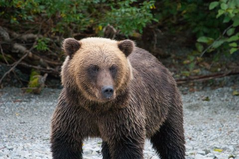grizzly big