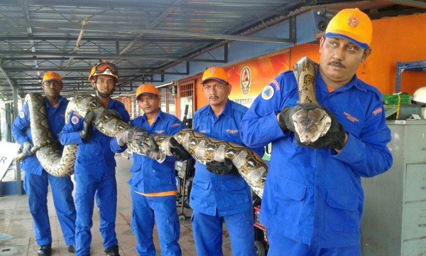 giant-python