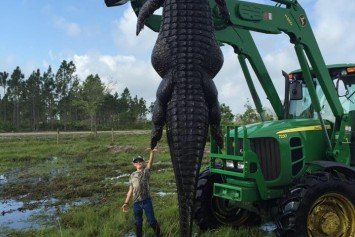 Massive 15-Foot Cattle-Eating Gator Shot in Florida