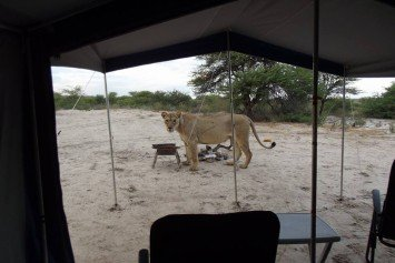 Incredible Video Shows Lions Licking Water From Tent