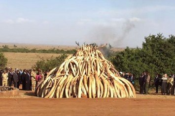 Kenya Burns 100 Tons of Ivory