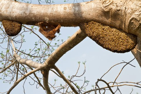 bee swarm tree