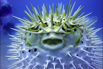 2 Kids Die After Eating Puffer Fish in Phillipines