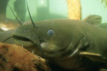 5 Tips for Catching More Bullheads