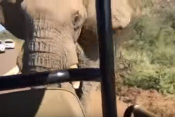 Arnold Schwarzenegger Charged by African Elephant on Safari