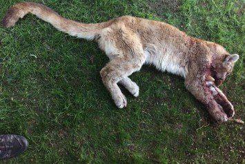 Mom Fights Off Mountain Lion Attacking Her Son