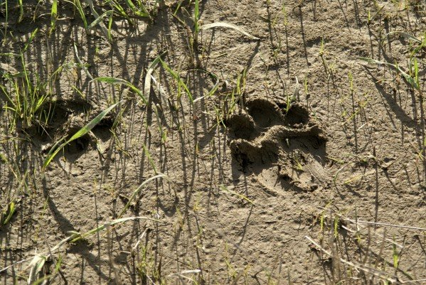 how to identify a mountain lion track liveoutdoors