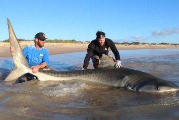 Australian Anglers Land Giant Tiger Sharks