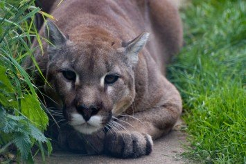 Why Living Near Cougars Might Actually Be Safer