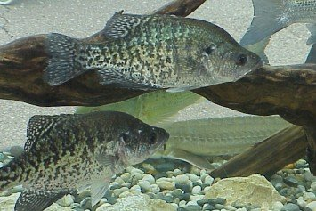 Most Important Fly Fishing Tips for Crappies