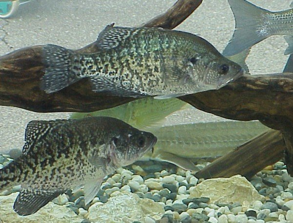 fishing fly crappies crappie tips liveoutdoors important