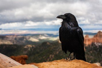 How Crows Can Cure Your Summer Hunting Blues