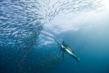 Why Guatemala is the Sailfish Capital of the World