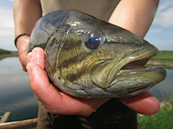 smallmouth bass upclose