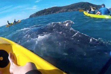 Entangled Humpback Whale Asks Kayakers for Help