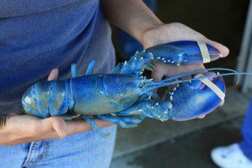 Rare Blue Lobster Caught in Massachusetts