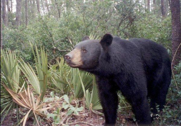 A_Florida_Black_Bear