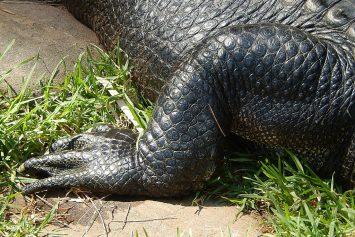 Headless Alligators Ignite Mystery in Florida