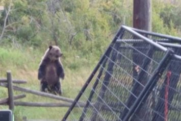 Aggressive Grizzly Bears Terrorize Alberta Family