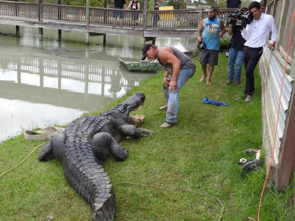 largest amount of alligator
