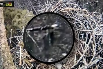 Was Bigfoot Sighted on a Live Webcam?