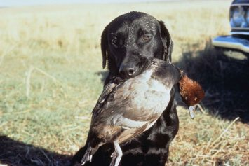 All-Time Best Hunting Dog Breeds