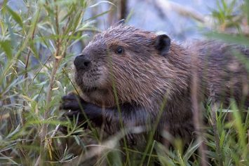 100,000 Beavers to be Culled in Argentina