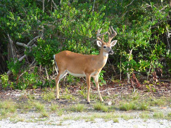 Key_deer_male