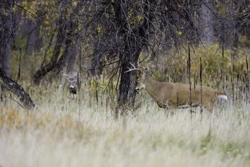 Are You Smarter Than a Buck in the Rut?