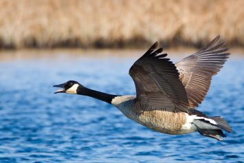 5 Tips for Late Season Canada Geese