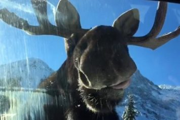 See What Happens When a Moose Licks Salt Off a Car
