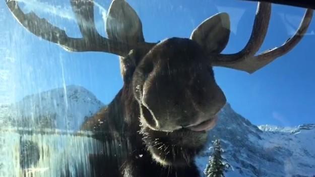 moose lick