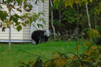 The Mysterious Case of the White Headed Bear