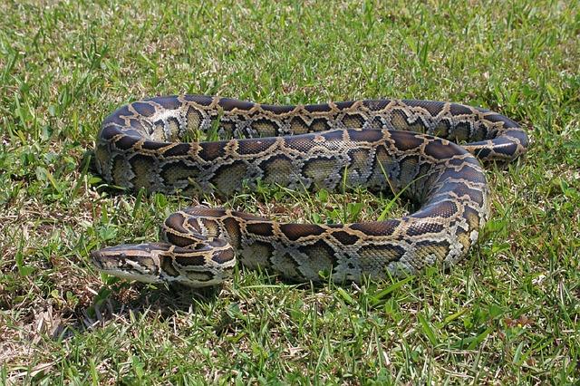 burmese-python-1794528_640