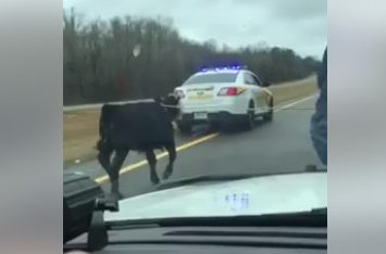 Tennessee Sheriff Enlists Cowboy to Lasso Runaway Calf