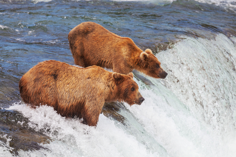 Grizzlies in Alaska