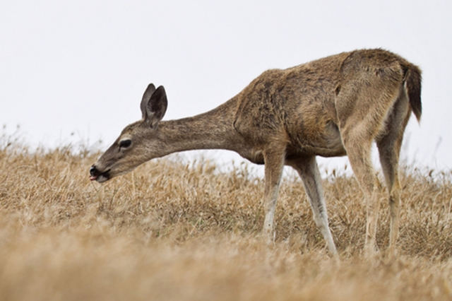 Blacktail deer in dry grass