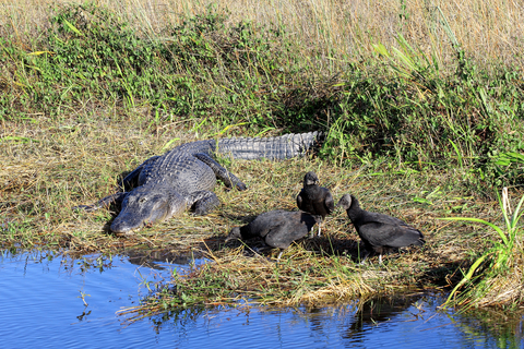 Alligators and Vultures