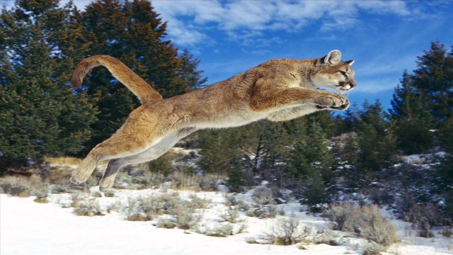 Cougar Leaping